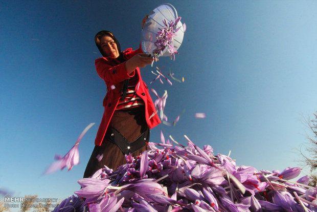 iran lady with saffron flowers